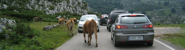 Cows on the road in Asturias
