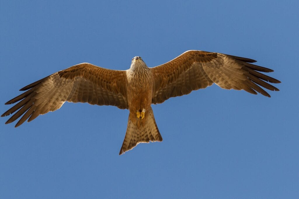 Red Kite - Milano Real