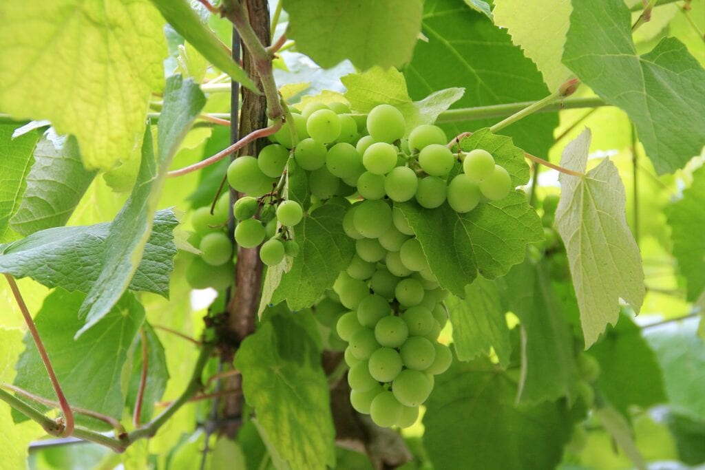 Albariño Grapes in the Rias Baixas Wine Region